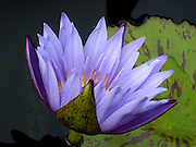 Portrait of a Lavender Water Lily.<br />