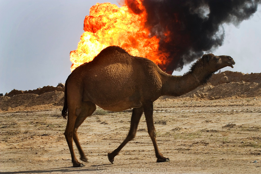 One of several hundred camels grazing in the Rumaila Oil Field of southern Iraq walks in front of a burning oil well being fought by the Kuwaiti Wild Well Killers, a division of the Kuwait Oil Company. The Rumaila field is one of Iraq's biggest oil fields with five billion barrels in reserve. Many of the wells are 10,000 feet deep and produce huge volumes of oil and gas under tremendous pressure, which makes capping them very difficult and dangerous. Rumaila is also spelled Rumeilah.