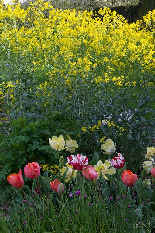Isatis tinctoria - woad, with Tulipa 'Akebono', parrot tulips 'Orange Favourite' and 'Estella Rinveldt'