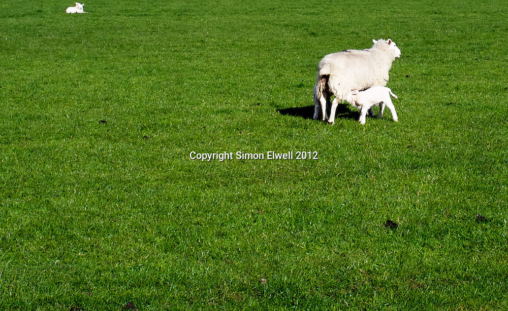 New born lambs frolick and graze in an English field in springtime