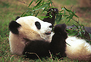 Female panda Lun Lun feeds on bamboosleeps in at the Chengdu Research Base. The panda, which was conceived by artificial insemination, is now two years old and has been loaned to Zoo Atlanta for a 10-year stint starting 1999...Her other favourite foods include apples and carrots, zoo keepers said...Copyright Justin Jin..