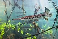 Florida Gar<br /> <br /> Isaac Szabo/Engbretson Underwater Photography