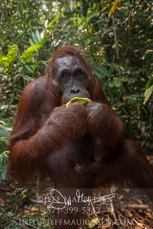 A Bornean orangutan eats a mango in Tanjung Puting National Park, Indonesia.