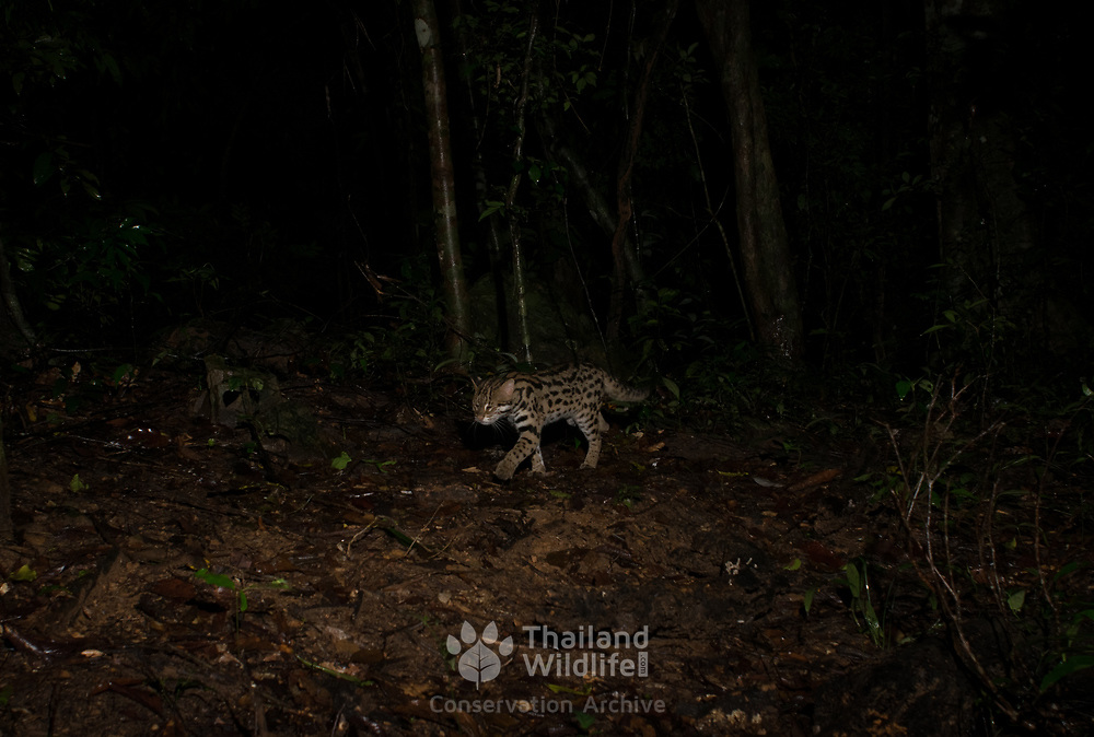 The leopard cat (Prionailurus bengalensis) is a small wild cat native to continental South, Southeast and East Asia. Since 2002 it has been listed as Least Concern on the IUCN Red List as it is widely distributed but threatened by habitat loss and hunting in parts of its range.