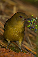 A Vogelkopf Bowerbird.(Amblyornis inoratus) holding some berries in his beak.