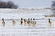 White-tailed deer ( Odocoileus virginianus) fleeing in farmer's field<br />Souris<br />Manitoba<br />Canada