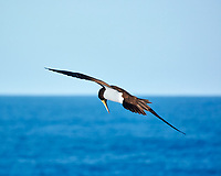 Brown Booby Fishing in the Pacific Ocean. Viewed from the  deck of the MV World Odyssey. Image taken with a Nikon 1 V3 camera and 70-300 mm lens.