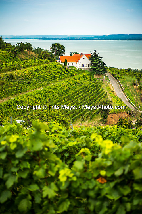 Badacsony, Balaton, Hungary, August 2015. The vineyards of Badacsony. Lake Balaton is a freshwater lake in the Transdanubian region of Hungary. It is the largest lake in Central Europe and one of the region's foremost tourist destinations. The mountainous region of the northern shore is known both for its historic character and as a major wine region, while the flat southern shore is known for its resort towns. Photo by Frits Meyst / MeystPhoto.com