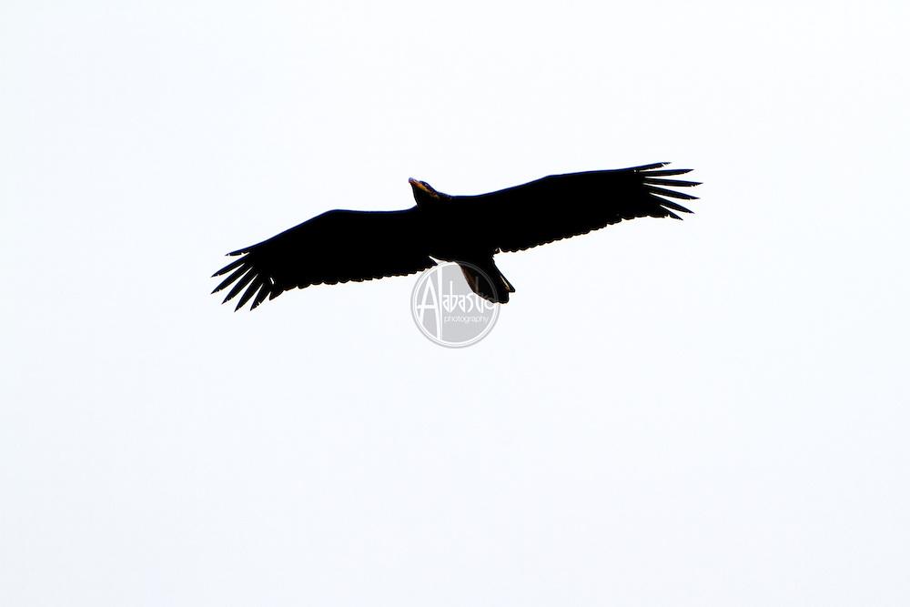 January 2013 Alki Beach: Juvenile Bald Eagle.