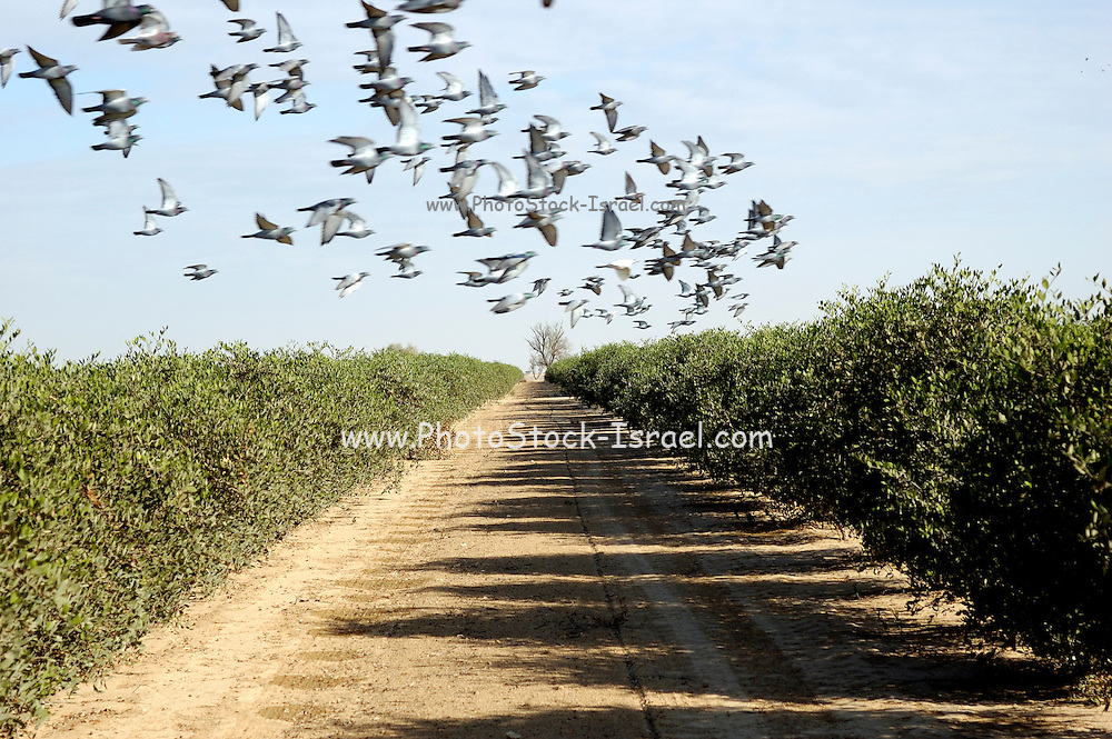 Israel, Negev, a flock of birds fly over a cultivated field. Birds are a major pest to farmers