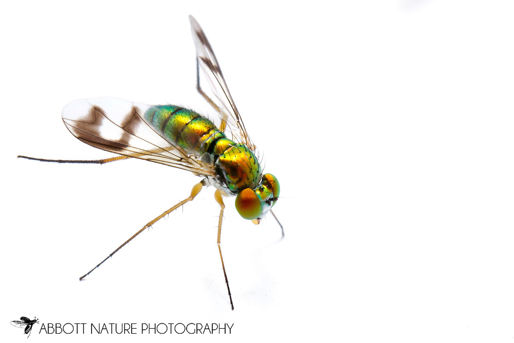 Longlegged Fly (Condylostylus sipho group) female<br /> TEXAS: Jasper Co.<br /> Brookeland/Lake Sam Rayburn KOA @ 505 Co Rd 212<br /> 9.June.2015<br /> J.C. Abbott #2739 &amp; K.K. Abbott