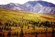 The beautiful colors of fall on the Alaskan tundra in Denali N.P.