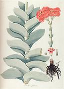 Hand painted botanical study of Crassula perfoliata var. falcata (Larochea falcata) flower anatomy from Fragmenta Botanica by Nikolaus Joseph Freiherr von Jacquin or Baron Nikolaus von Jacquin (printed in Vienna in 1809)