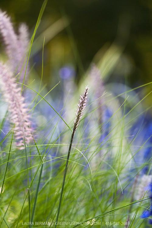 Hameln dwarf fountain grass (Pennisetum aloepecurides 'Hameln')