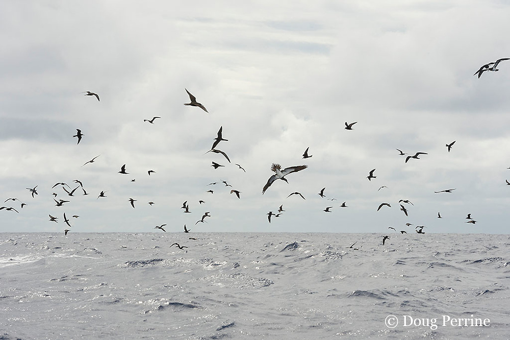 brown noddy terns, Anous stolidus, and brown boobies, Sula leucogaster, mark a school of skipjack tuna, Vava'u, Kingdom of Tonga, South Pacific