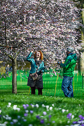 © Licensed to London News Pictures. 06/03/2020. LONDON, UK. Tourists view the trees in St James's Park on a sunny day as the blossoms show signs of the arrival of spring. Photo credit: Stephen Chung/LNP