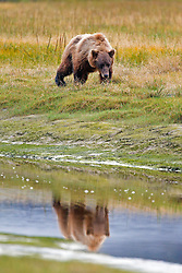 North American brown bear / coastal grizzly bear (Ursus arctos horribilis) sow walks along a creek with reflection, Lake Clark National Park, Alaska, United States of America
