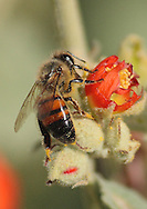 Closeup of a bee covered in pollen, working on a flower, at the Riparian Preserve in Gilbert, AZ