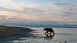North American brown bear /  coastal grizzly bear (Ursus arctos horribilis) sow walking along a beach at sunrise, Lake Clark National Park, Alaska, United States of America