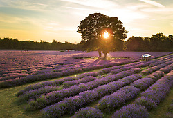 © Licensed to London News Pictures. 05/07/2017. Banstead, UK. Sunrise at Mayfield Lavender Farm on the North Downs, where lavender production first flourished 100 years ago. Organic oils, fragrances, food, lavender bunches and other gifts are for sale  to visitors to the farm and at a nearby nursery and gift shop. Images taken with the permission of Mayfield Lavender. Photo credit: Peter Macdiarmid/LNP