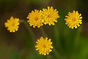 False dandelion, catsear, flatweed or hairy cat's ear (Hypochaeris radicata) at Bunny Lake<br />Near Sioux Narrows<br />Ontario<br />Canada