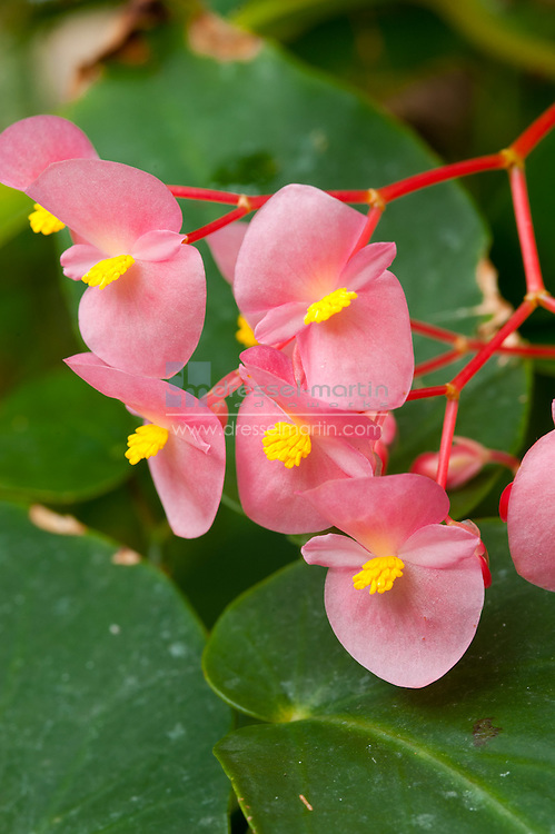 Tropical Conservatory, Begonia coccinea 'Pink Shasta', Angel Wing Begonia
