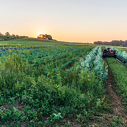 A farmer drives his tractor through a field of vegetables on a farm on Kinney Hill in South Hampton, New Hampshire. Sunrise.