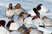Canvasback, Aythya valisineria, flock, Detroit River, Ontario, Canada