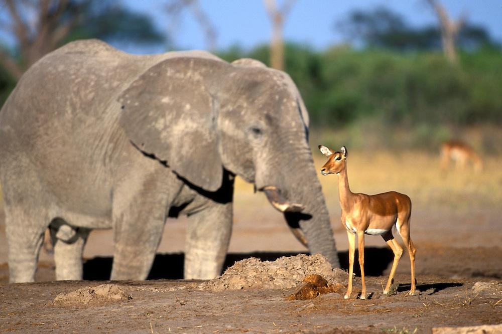 Botswana, Chobe National Park, Impala (Aepyceros melampus) walks past Elephants crowding water hole in Savuti Marsh