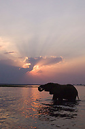 An elephant drinks from the Chobe River during sunset in the Chobe National Park, Botswana. This area is home to the largest concentration of elephants in Africa, and draws visitors from around the world for its game drives and safaris.
