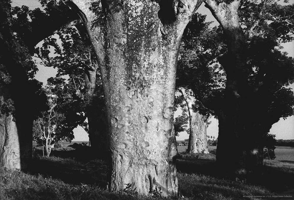 Forest of Baobab Trees, Mombasa, Kenya, Africa, 1937
