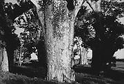 Forest of Baobab Trees, Mombasa, Kenya, Africa, 1937