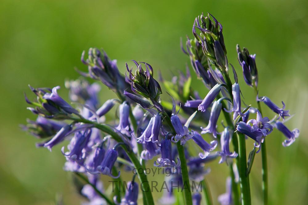 Bluebells growing , England