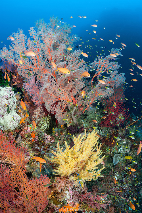Colorful Gorgonians and Anthias<br /> <br /> Shot in Indonesia