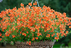 Diascia Little Tango syn. 'Pentang' in a hanging basket
