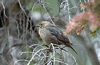 Brown-headed Cowbird (Molothrus ater), perched in tree, Fish Creek Provincial Park, Calgary, Alberta, Canada   Photo: Peter Llewellyn