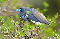 Tricolored Heron Egretta tricolor Wakodahatchee Wetlands Delray Beach Florida USA