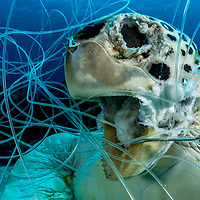A green sea turtle tangled in fishing line and drown. Turtles must breath air and if they cannot make it to the surface they will drown. Discared fishing gear is a major contributor to our ocean plastic problem. Image made off Eleuthera, Bahamas.