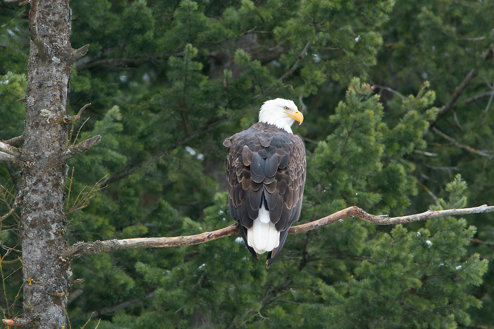 An adult bald eagle (Haliaeetus leucocephalus) perched in an evergreen tree, Idaho