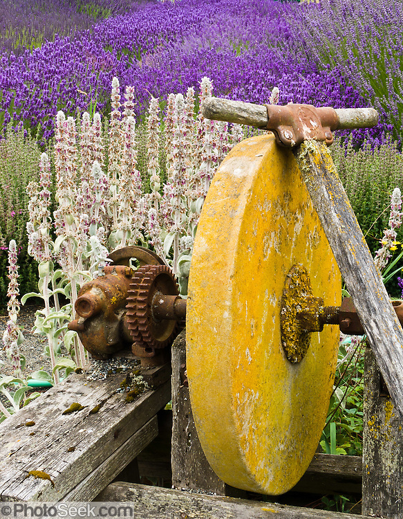 A yellow stone wheel and gears decorate Cedarbrook Lavender and Herb Farm at the Sequim Lavender Festival held mid July on the Olympic Peninsula in Washington, USA. Lavender is a flowering plant in the mint family (Lamiaceae).