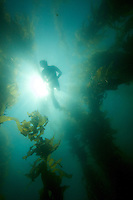 Russell Laman (age 13) snorkeling in the Giant Kelp (Macrocsytis pyrifera) forest off La Jolla, CA.