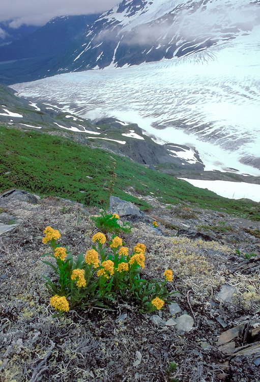 Exit Glacier flows down a glacier valley towards Seward from a branch of the huge Harding Icefield. Yellow flowers bloom in the foreground.