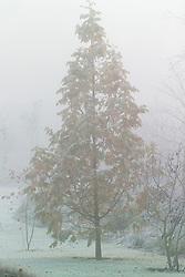 Metasequoia glyptostroboides 'Gold Rush' on a foggy winter's morning in John Massey's garden at Ashwood Nurseries. Dawn redwood