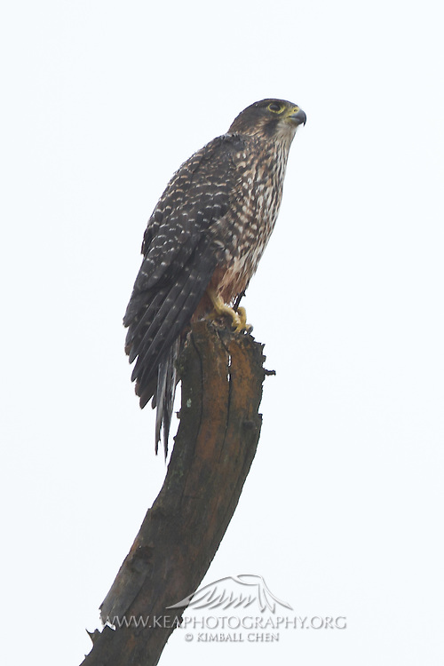 The New Zealand Falcon is endemic to New Zealand, and estimated at under 5000 pairs remaining.