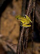 Jade-backed Stream Frog (Hylarana raniceps) from Kuban National Park, Sarawak, Borneo
