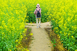 April 25, 2018 - Jiaxing, China - A lady walks a path. Cole flowers blossom at Wuzhen Ancient Town in Jiaxing, east China's Zhejiang Province. (Credit Image: © SIPA Asia via ZUMA Wire)
