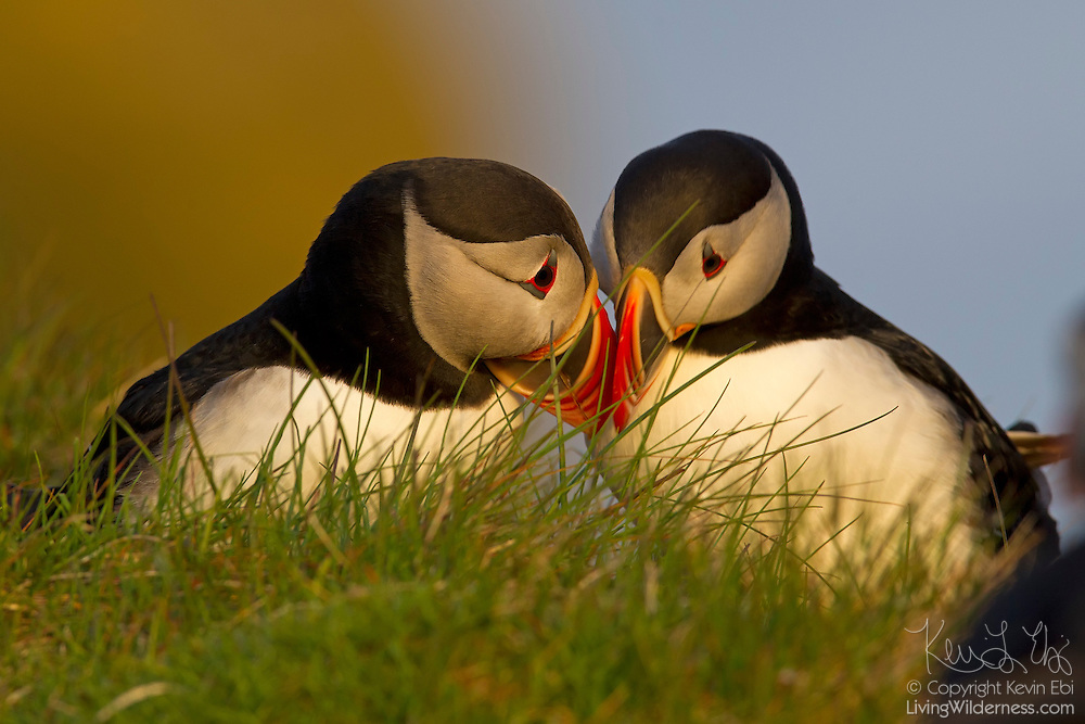 Two Atlantic puffins (Fratercula arctica) rub their bills together, an act of courtship known as billing. These puffins were found on the bird cliffs of Látrabjarg, Iceland. Látrabjarg is Europe's largest bird cliff: 1,444 feet (440 meters) high and 8 miles (14 km) long.