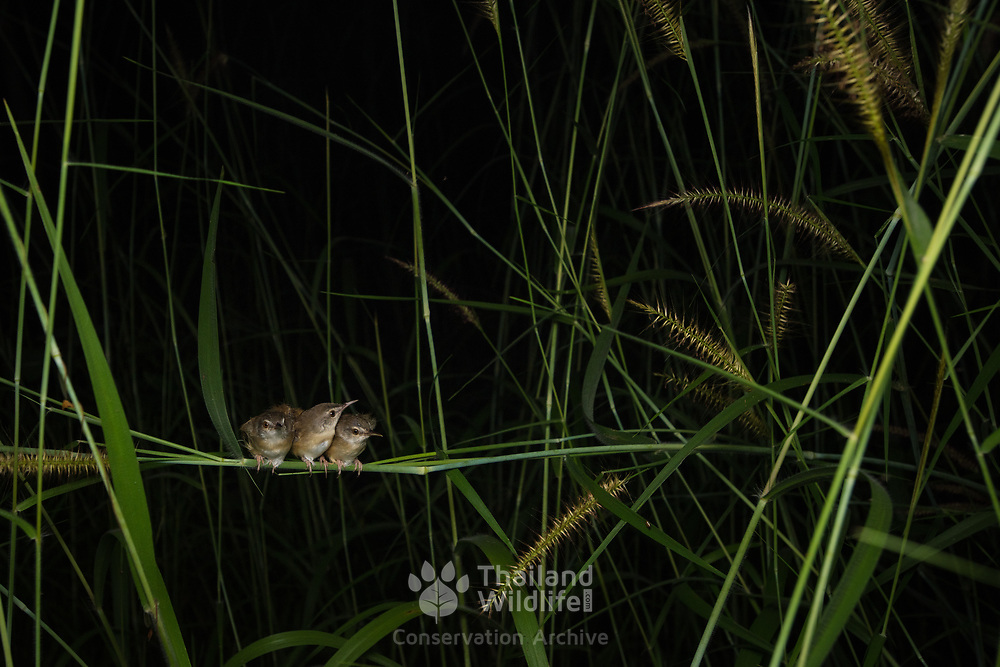 Rufescent Prinia (Prinia rufescens) resting at night in Lan Sak district, Uthai Thani, Thailand