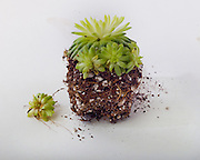 Vegetative reproduction, broken-off pieces.  Baby succelent pieces just fallen off