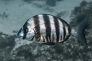 Zebra sea bream (Diplodus hottentotus)